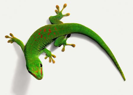 overhead view of a day gecko which is green with red patches