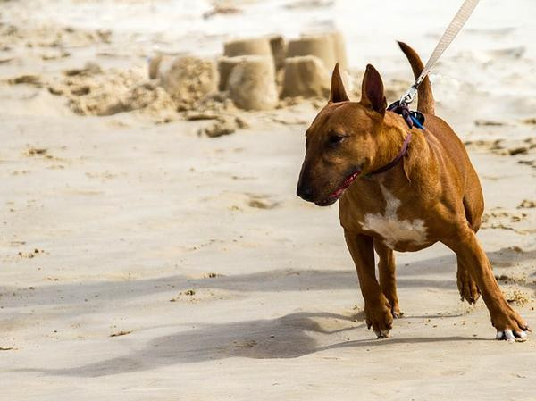A lunging dog - Petdiary dog training collars