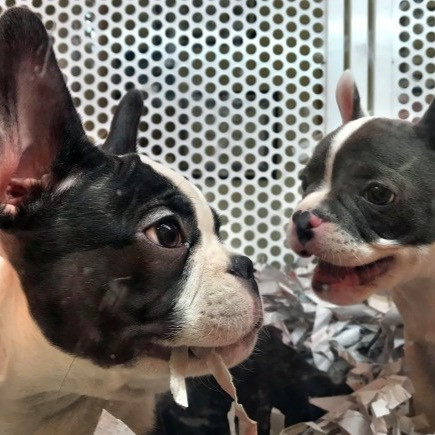 Two boston terrier puppies in a cage at a pet store that found a loophole in the California law banning dog sales in pet stores