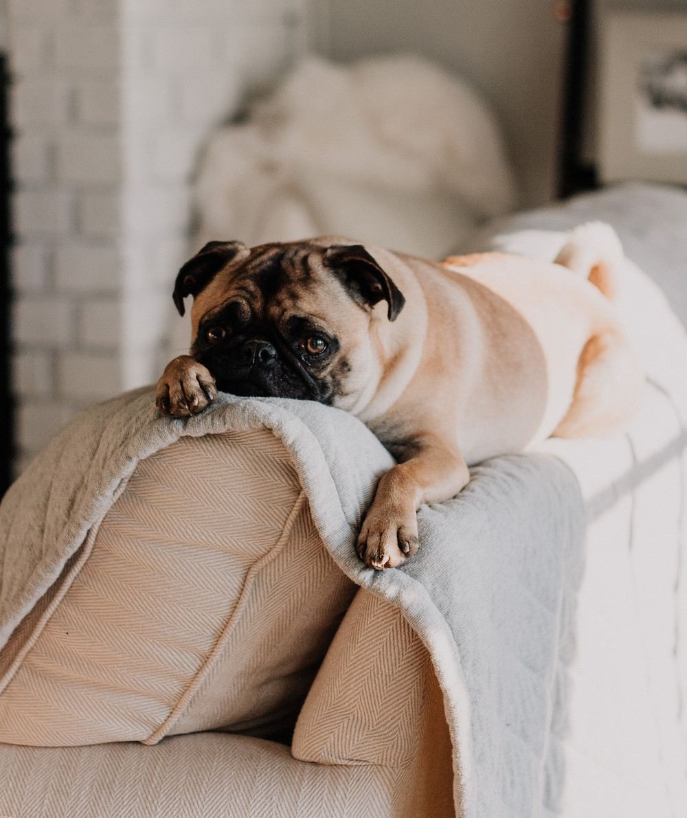 Pug on couch