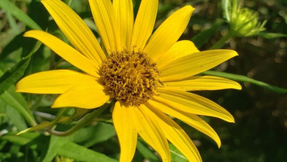 In the name of conservation: A search for whorled sunflower in Mississippi