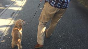 【卒業犬フィリップ】お散歩トレーニング(埼玉県川口市)