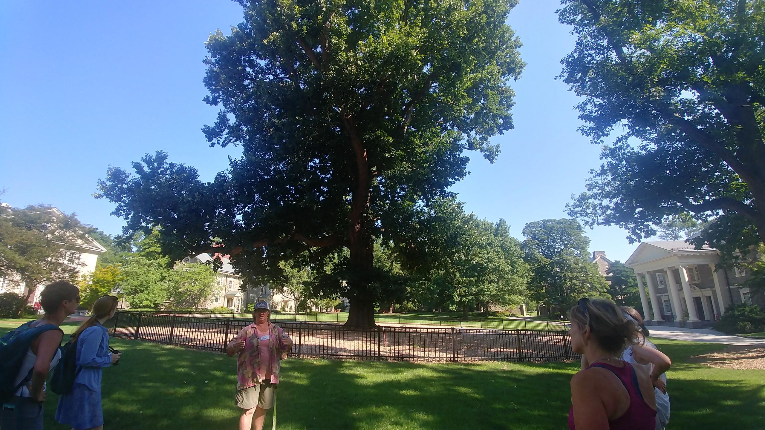 The Commencement Oak, a State Champion Quercus bicolor