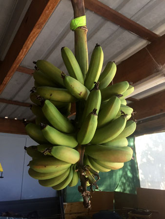 A bunch of bananas hanging out in the back shed.
