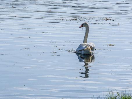 The sad swan.