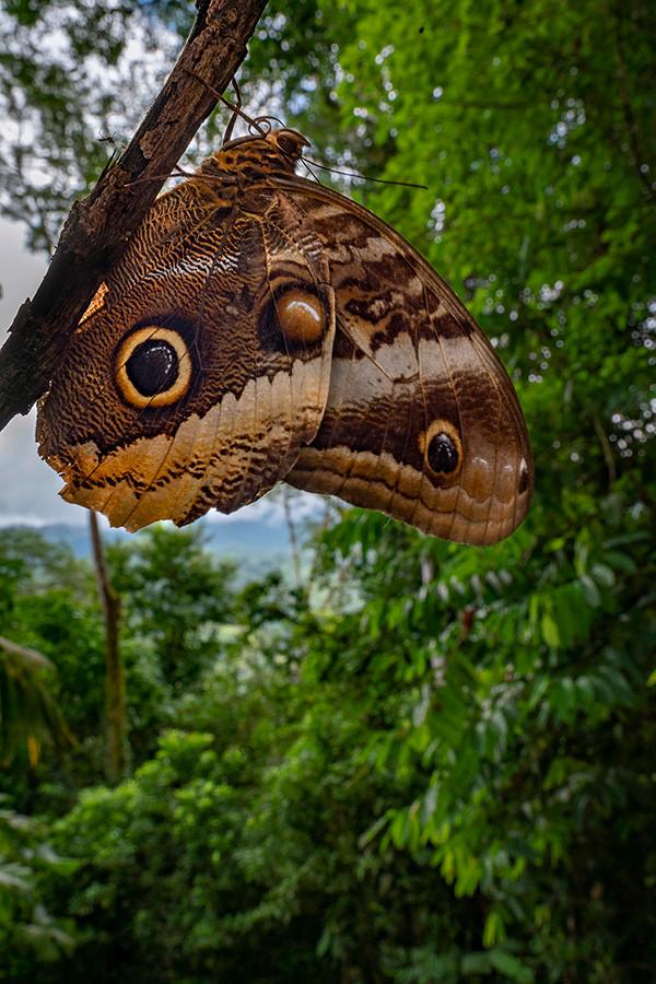 Owl butterfly (Caligo atreus) near Casa Tamandua