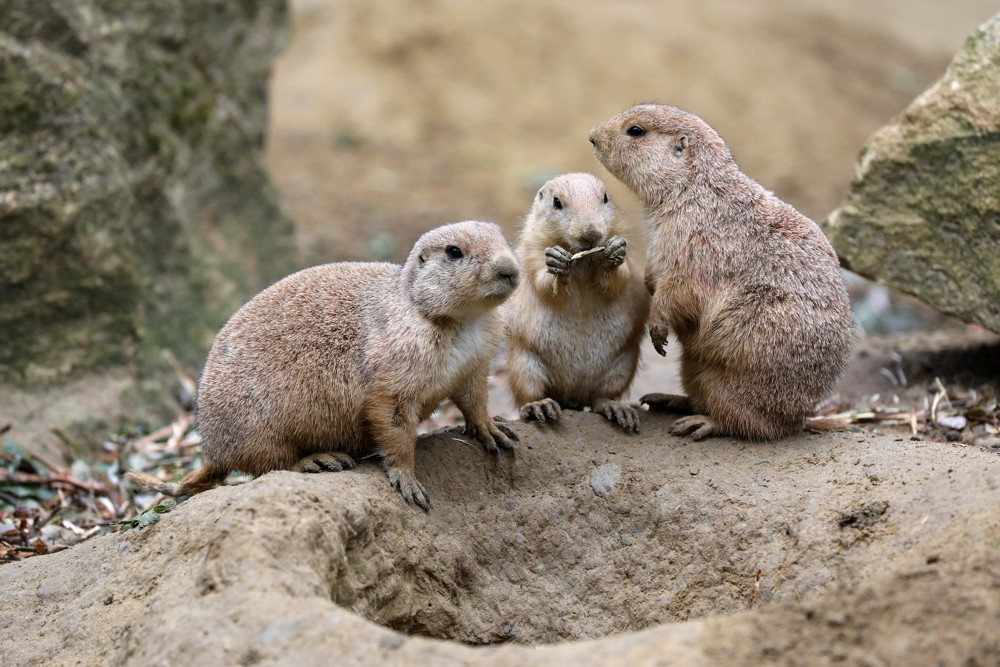 Prairie Dogs in Theodore Roosevelt NP