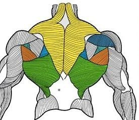 UPPER BACK MUSCLES