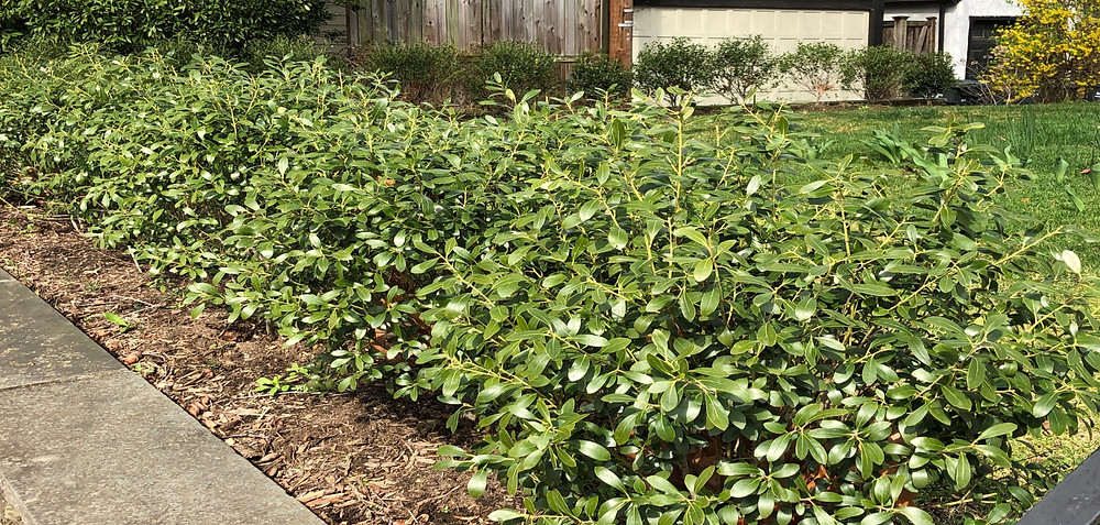 young native inkberry hedge shaped into spheres