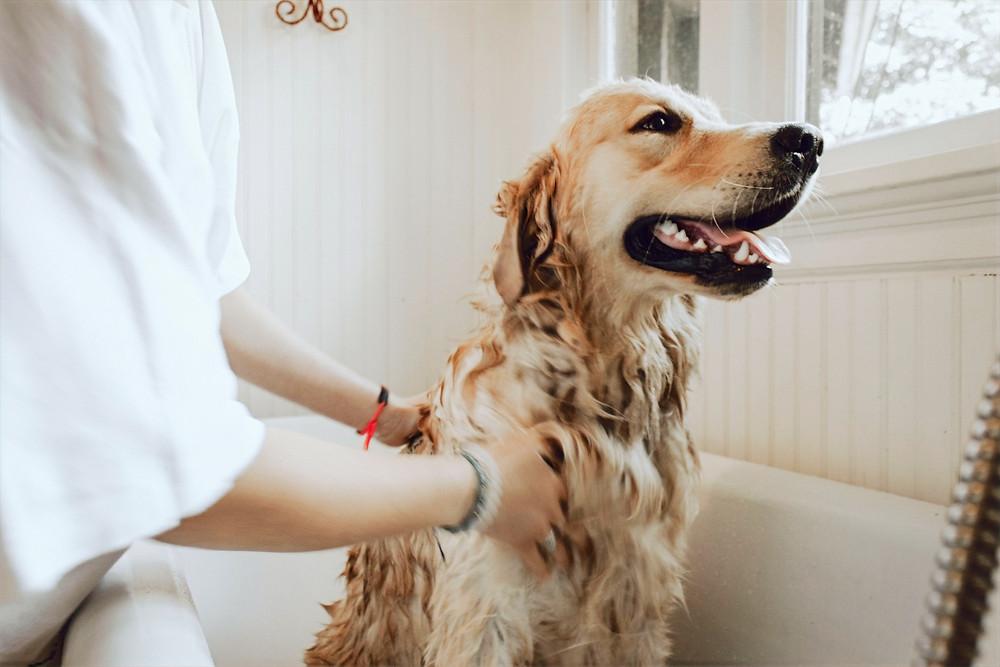 Golden retriever taking a bath