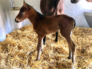 Filly foal by Zoffany out of Glenys The Menace