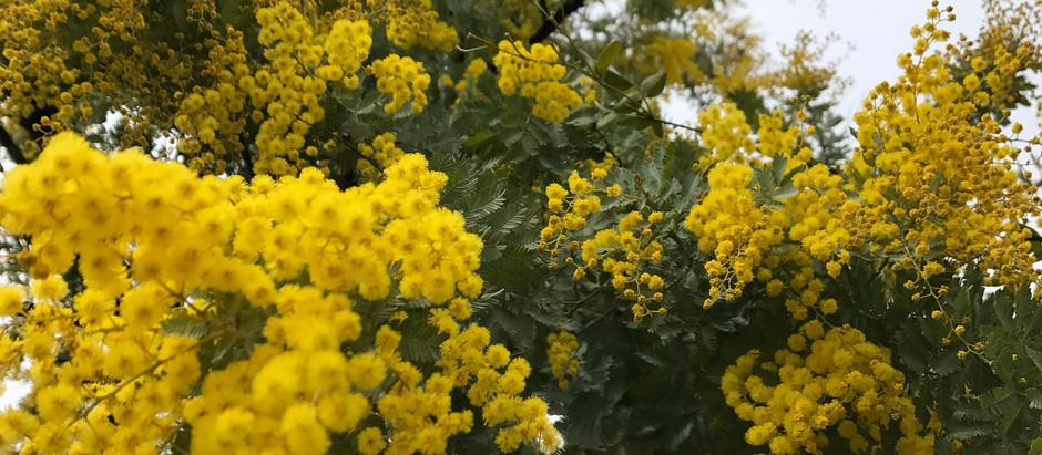 はるのきいろ   ようやく 春めいてまいりましたと… 思いきや  今日は、寒さが戻り ましたが、  リルシュル  ミモザは、しっかり、きいろいお花を 咲かせて います。