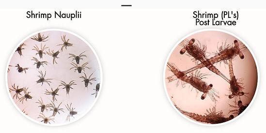 Nauplii and PL Acuamaya.jpg