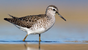 The Wood Sandpiper is one of the inland migratory shorebirds in Eurasia
