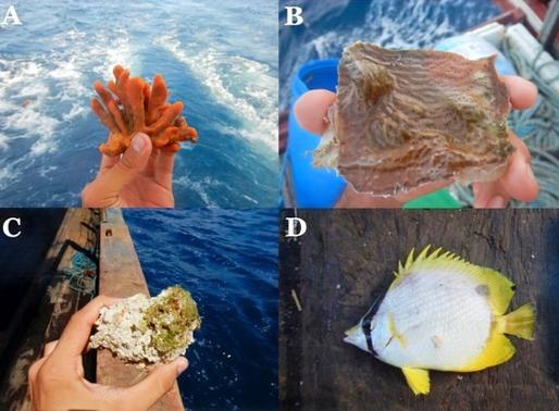 Corais da Amazônia: o recife desconhecido
