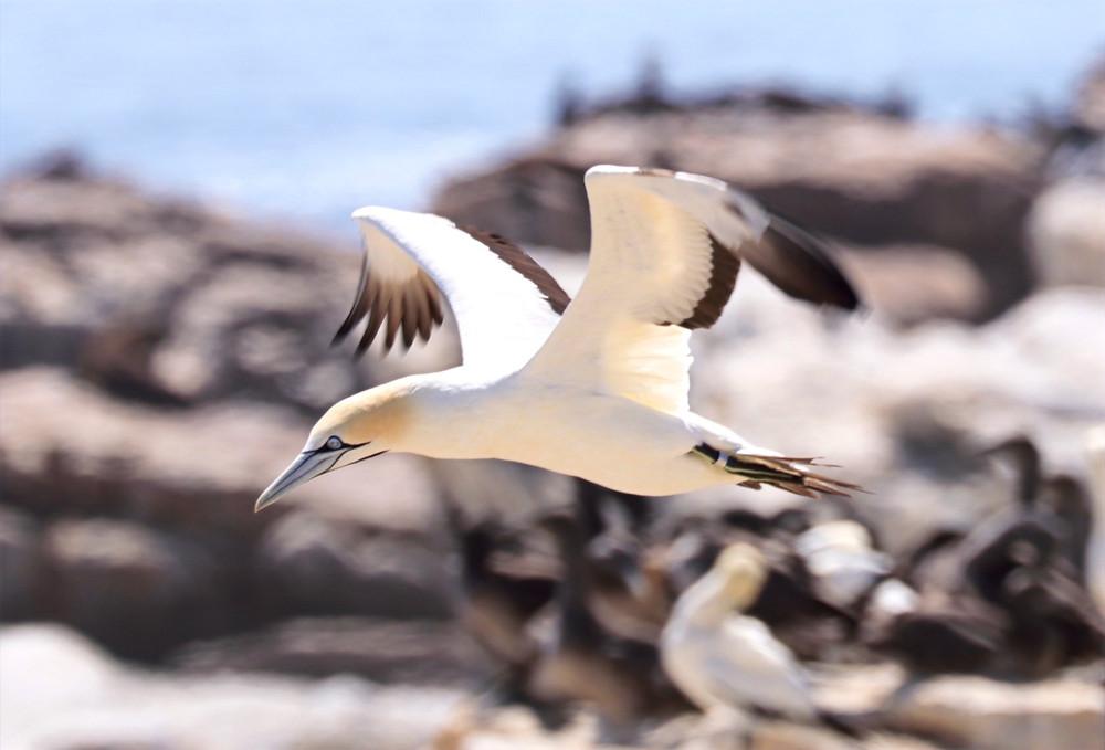 Kaptölpel in Lamberts Bay, Südafrika