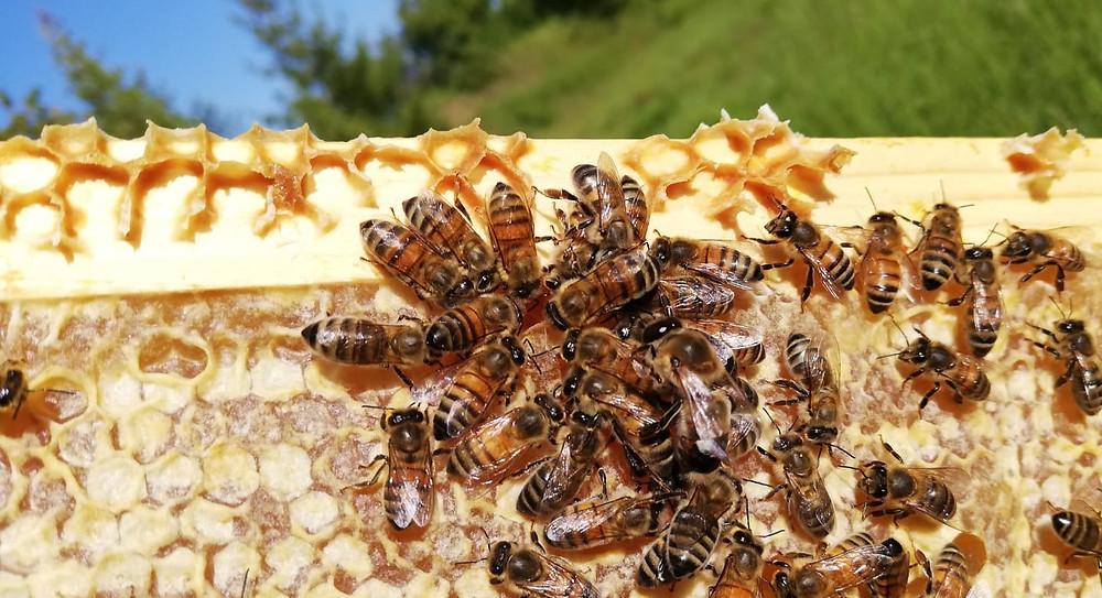 apimelis miel abeille ruche apiculture apiculteur entreprise local