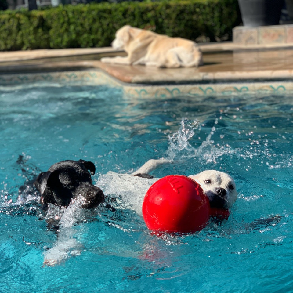 An American bulldog mix and a black lab mix swimming in a pool while cashing a jolly ball. A yellow Labrador retriever is sitting pool side in the background.