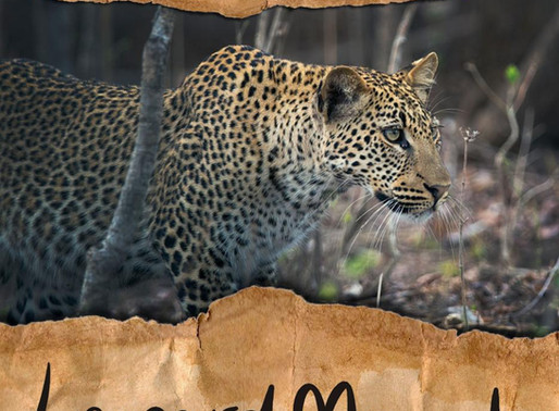 Zambia's very own leopard magnet