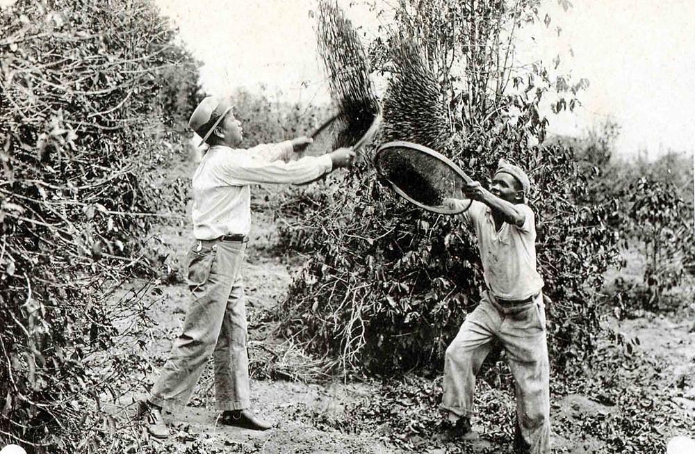 Trabalhadores em fazendas de café - ©Acervo do Museu Histórico da Imigração Japonesa no Brasil