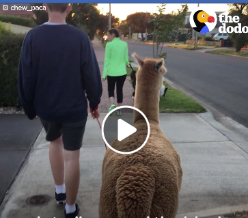 Alpaca loves to go for walks (Video)
