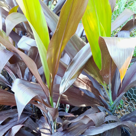 How to grow Cordyline negra and how to care for Cordyline fruticosa negra for your garden