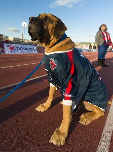 English mastiff wearing a soccer jersey
