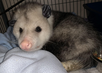 Awesome Opossum