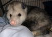 Awesome Opossum
