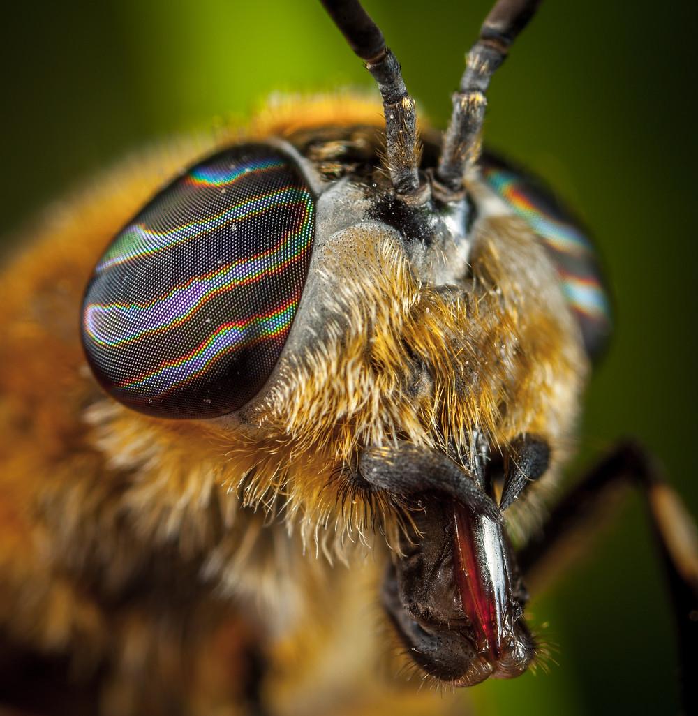 olhos das abelhas, olho de abelha