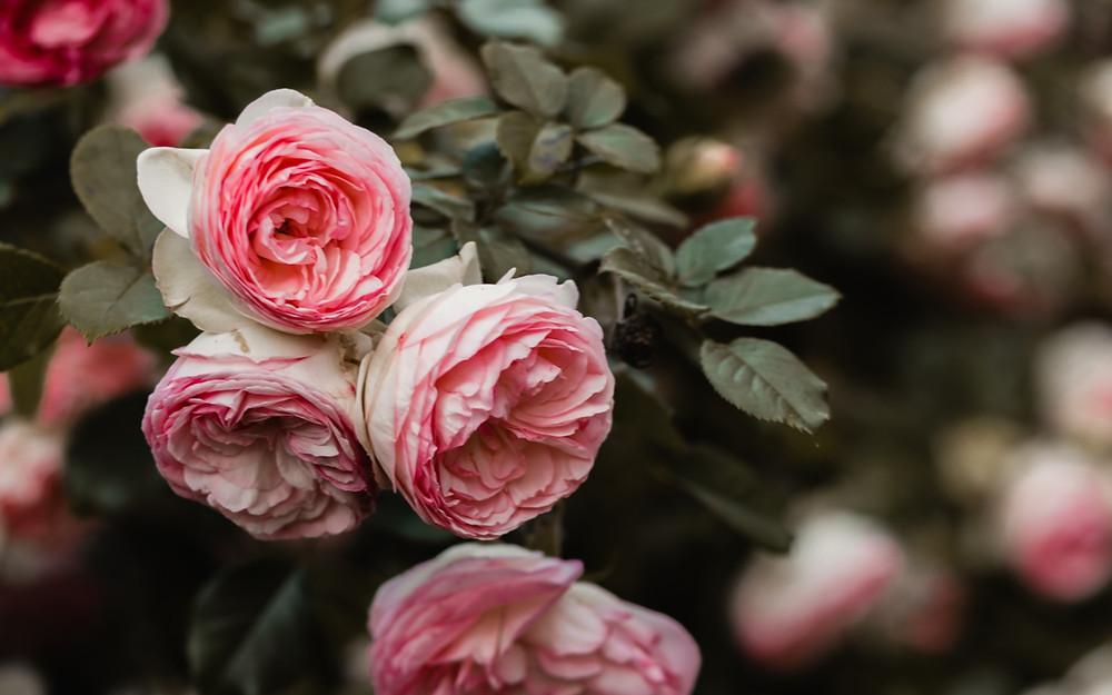pink roses on bush; photo by Nadia Valko on Unsplash