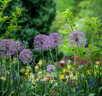 Purple alliums in Spring meadow