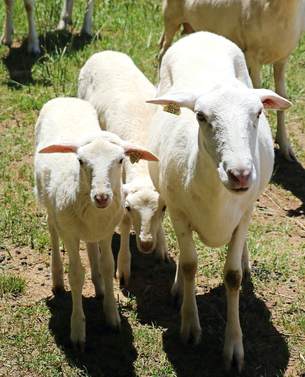 St. Croix sheep on River Ridge Farm