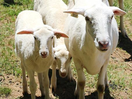 St. Croix Hair Sheep & Their Playful Lambs