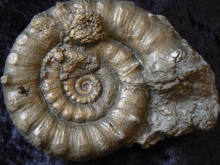 pyrite ammonite fossils