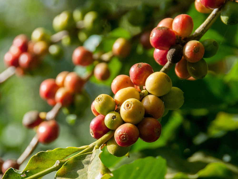 Variété de caféier et goût du café