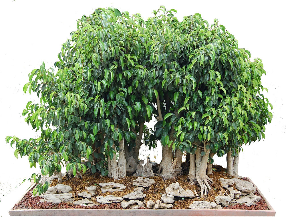 Ficus benjamina, Forest, Mrs Kale Collection