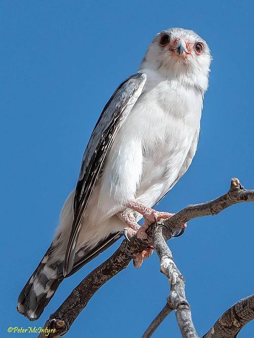 Pygmy Falcon, Kgalagadi Transfrontier Park