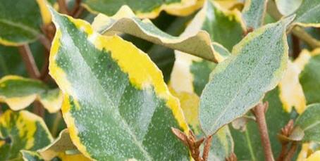Top 10 des plantes pour terrains arides : l'eleagnus