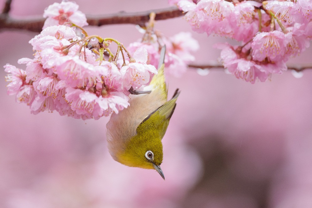 メジロと桜 / Cherry blossoms and Japanese white-eye