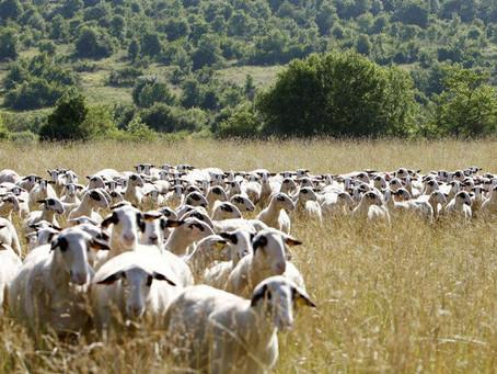 Fêtes pascales : trop d'agneaux et pas assez de commandes