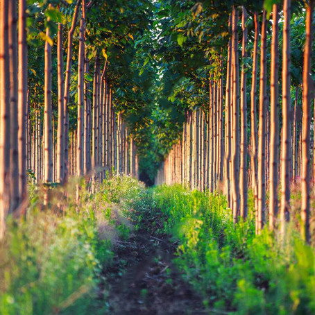 Simple, Successful & Sustainable-Agroforestry Intercropping