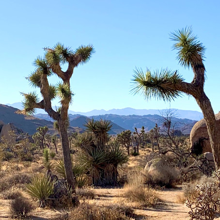 True Desert Wilderness In Joshua Tree California