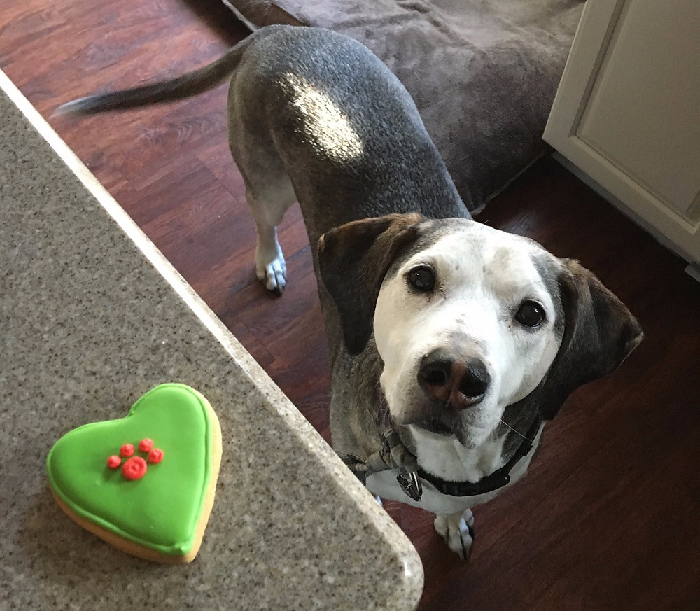 dog looking up at a cookie on the counter