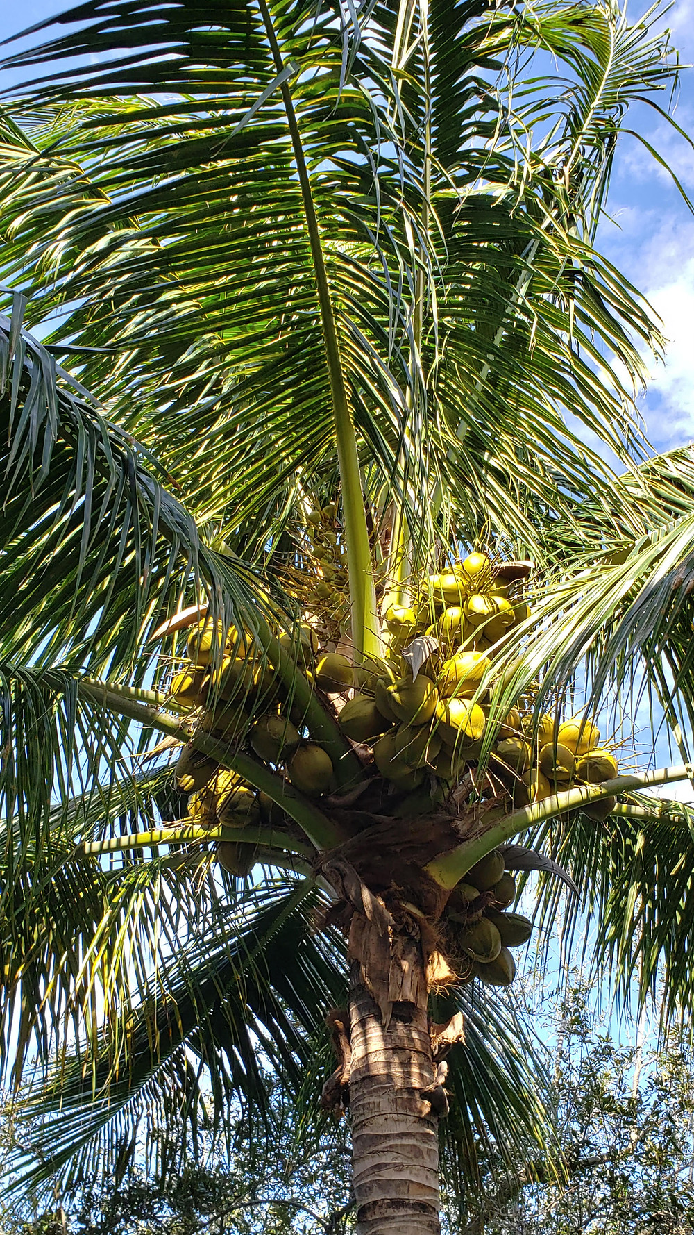 The coconut plam (cocos nucifera) has very large, edble seeds which are a food staple in many places world-wide.