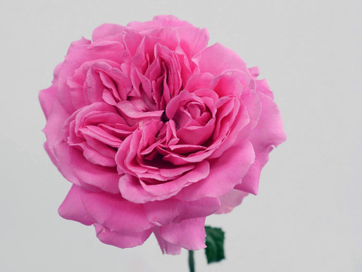 How to Pronounce Our Garden Rose Variety Names