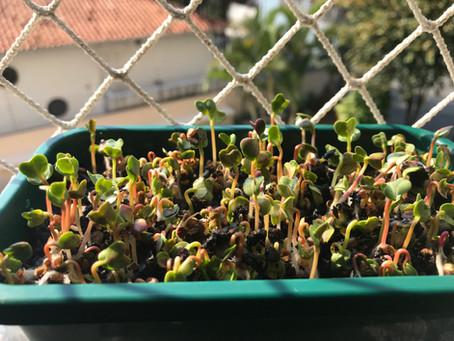 Como e por que cultivar microgreens em casa?