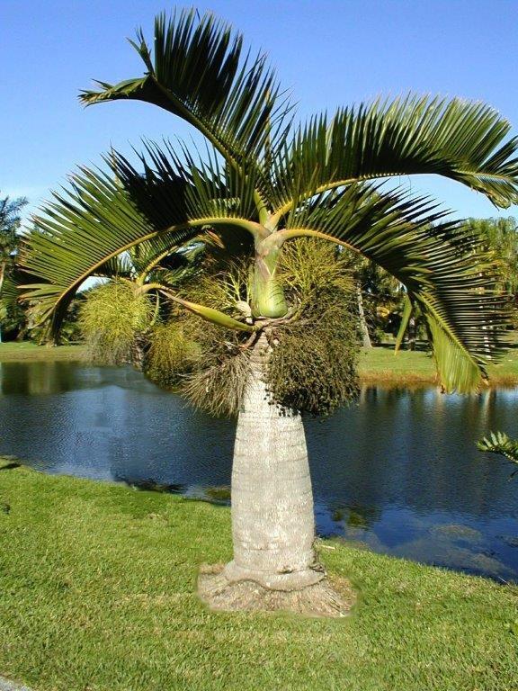 Bottle palms have a unique bulbous trunk.
