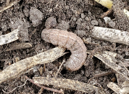 Cutworms: Scouting and Management