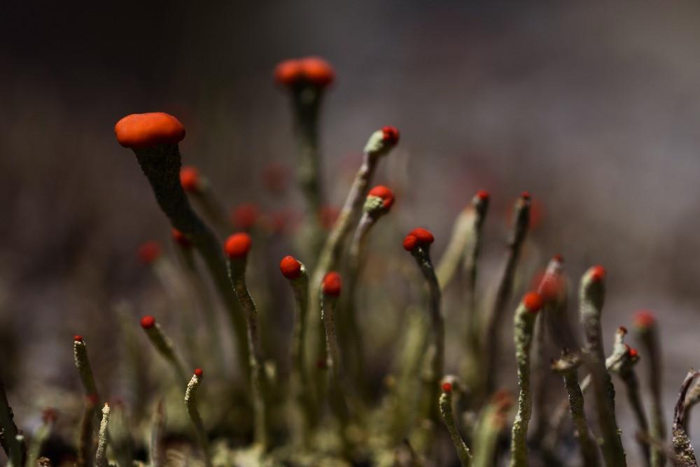 小さな赤い菌類 / Tiny red fungi